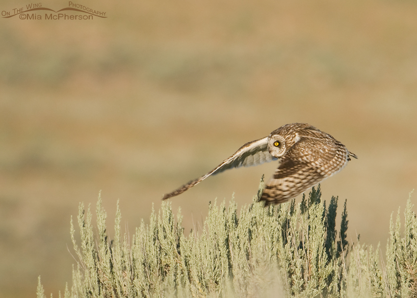 Adult Short-eared Owl lifting off from a sagebrush