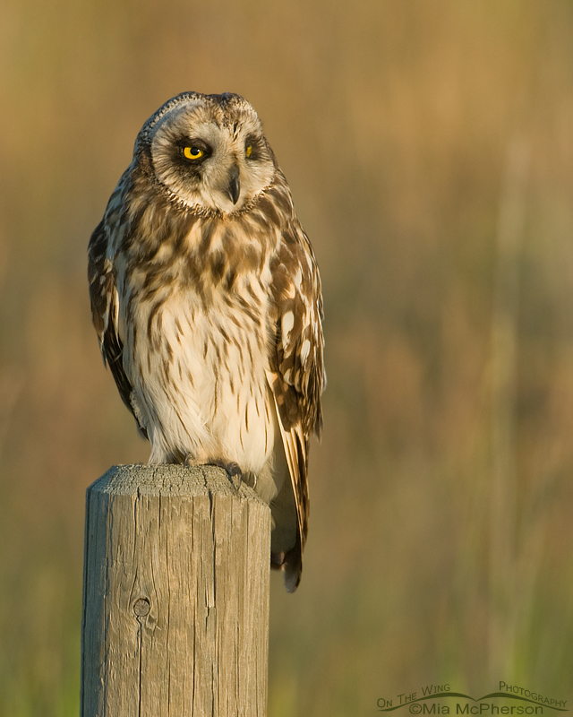 Male Short-eared Owl photographed in evening light