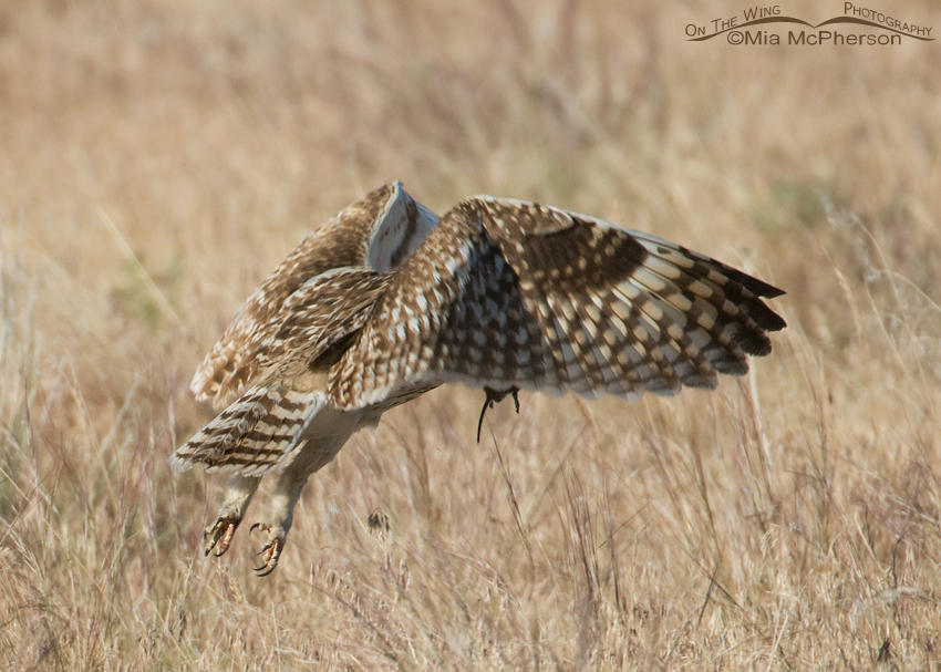 Adult Short-eared Owl prey for fledgling