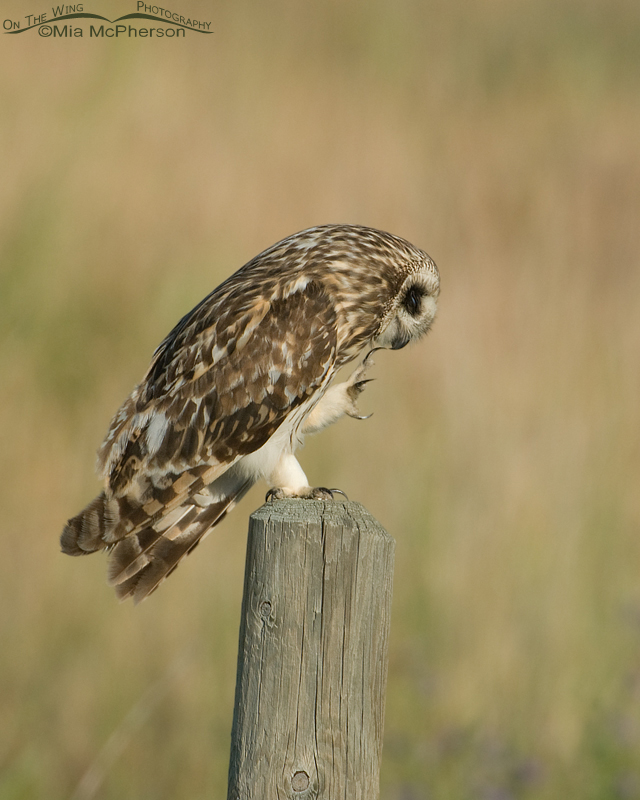 Preening Short-eared Owl