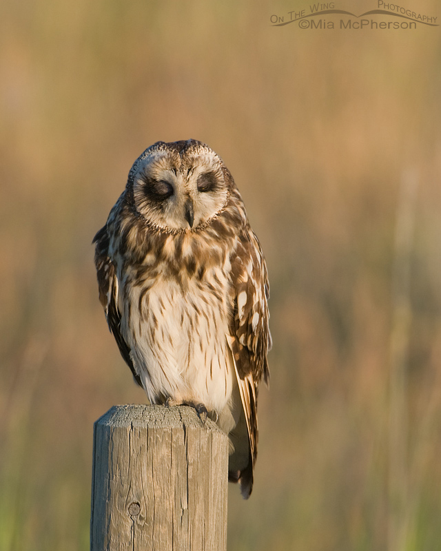 Dozing Short-eared Owl