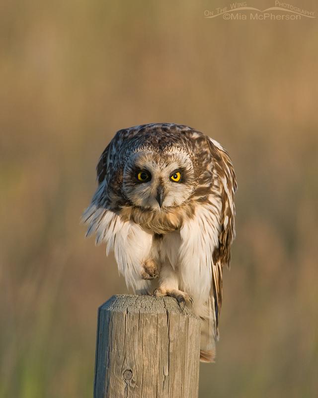 Staring Short-eared Owl