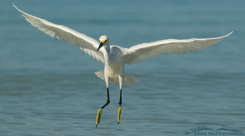 Snowy Egret landing on the shore of the Gulf of Mexico