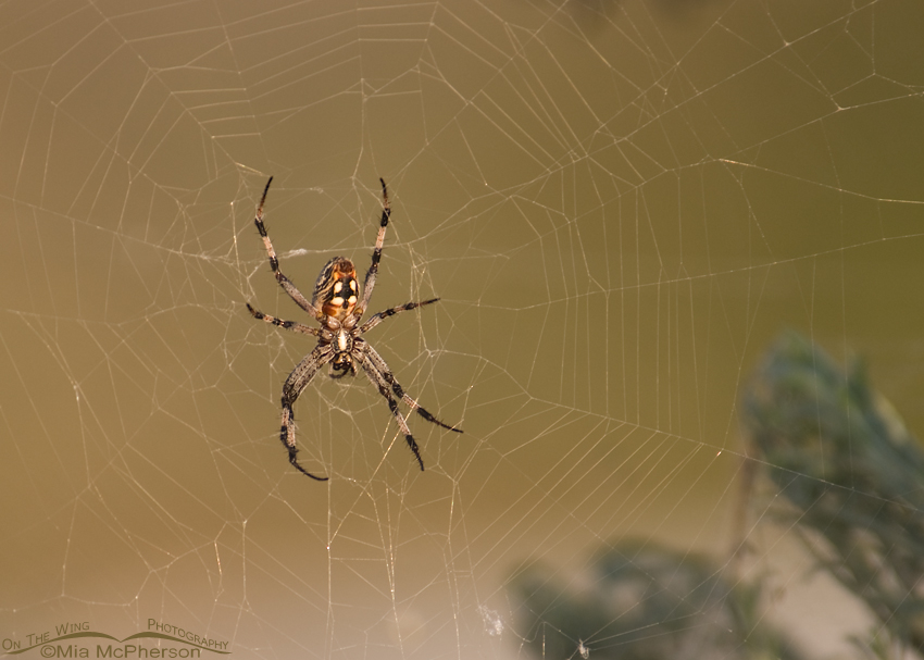 Western Spotted Orbweaver (Neoscona oaxacensis)