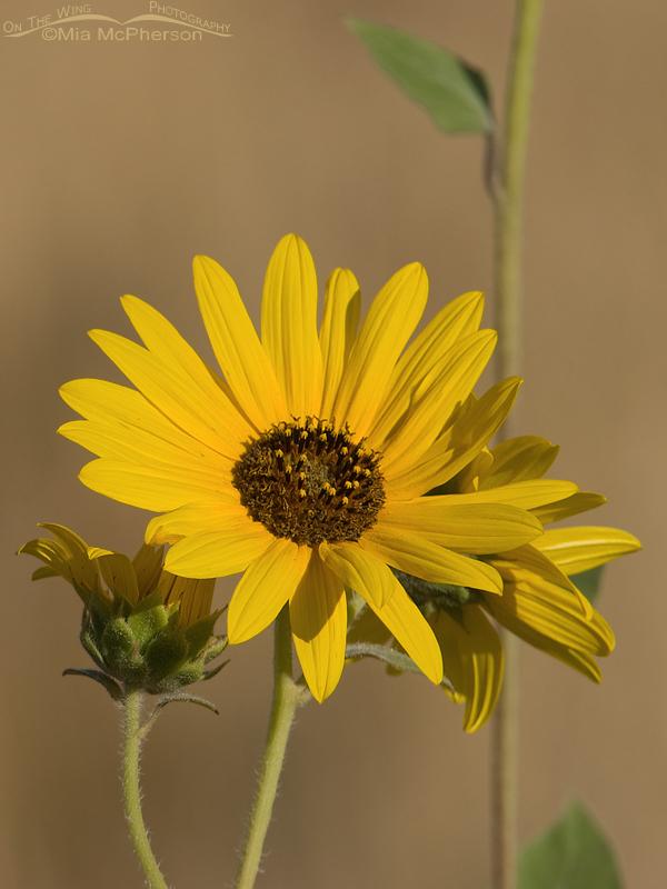 A wild Sunflower (Helianthus annuus) blossom