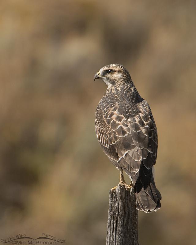 Swainson's Hawk juvenile