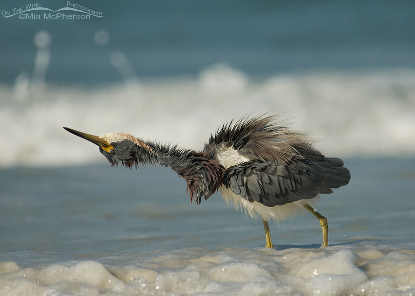 A really Twisted Tricolored Heron