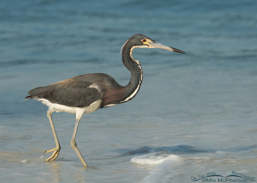 Tricolored Heron hunting in the surf