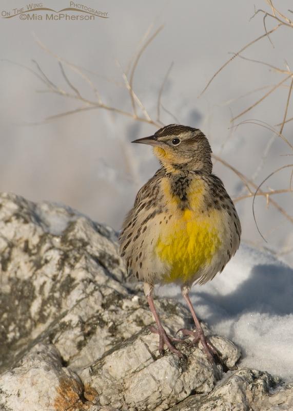 Alert Western Meadowlark