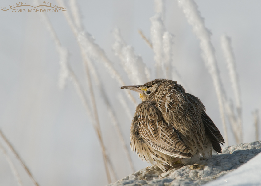 Western Meadowlark warming up after a long cold night