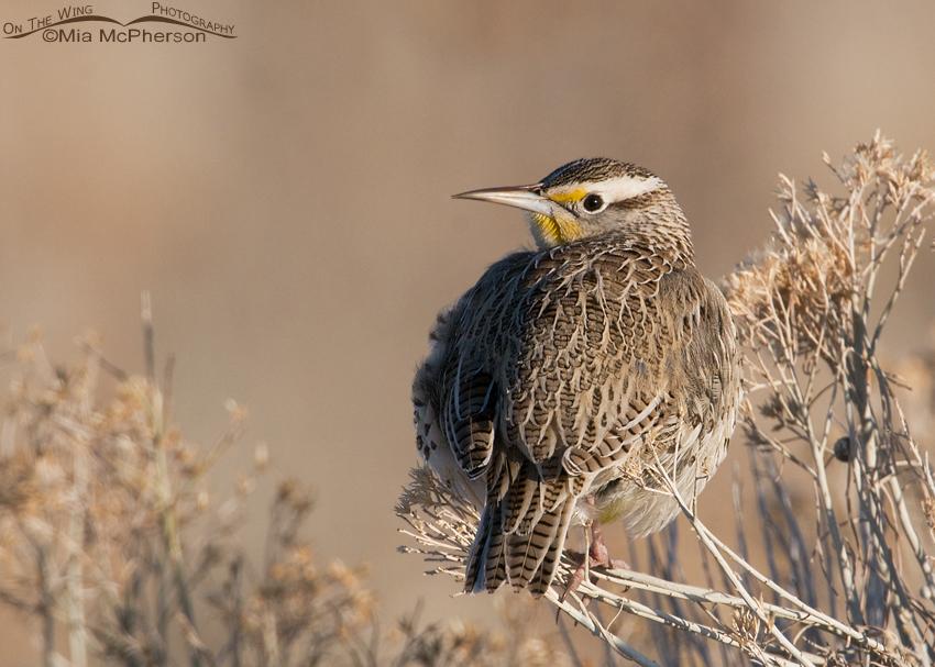 Western Meadowlark (Sturnella neglecta)