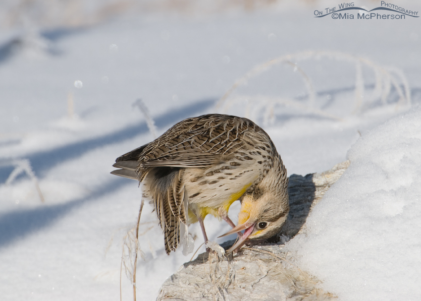 Western Meadowlark pulling ice off of its tail