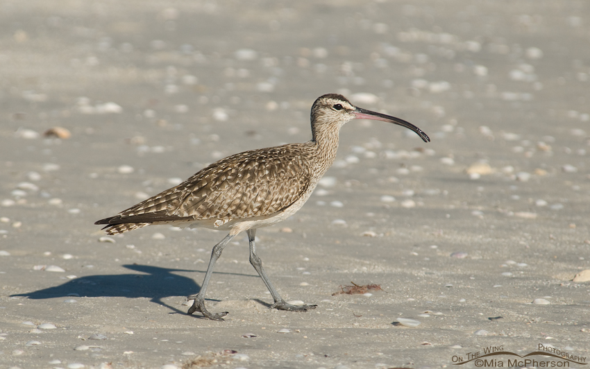 Whimbrel on beach