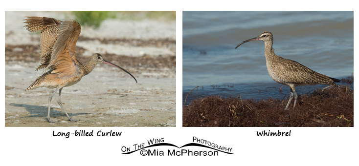 Long-billed Curlew - Whimbrel comparison