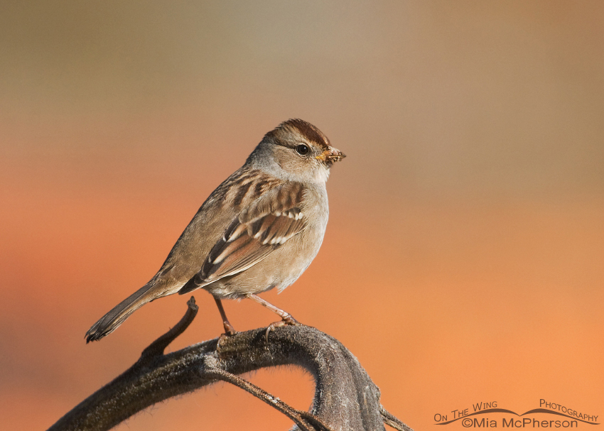 Juvenile White-crowned Sparrow near a pumpkin patch