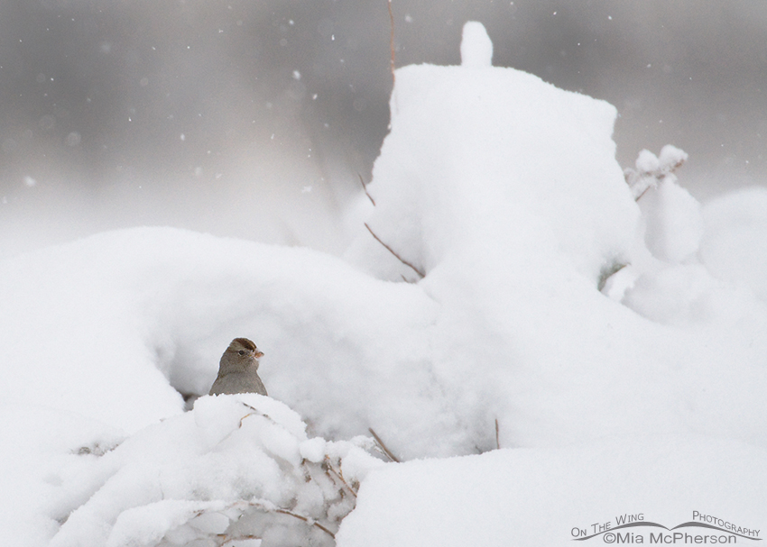 Juvenile White-crowned Sparrow in a snow storm