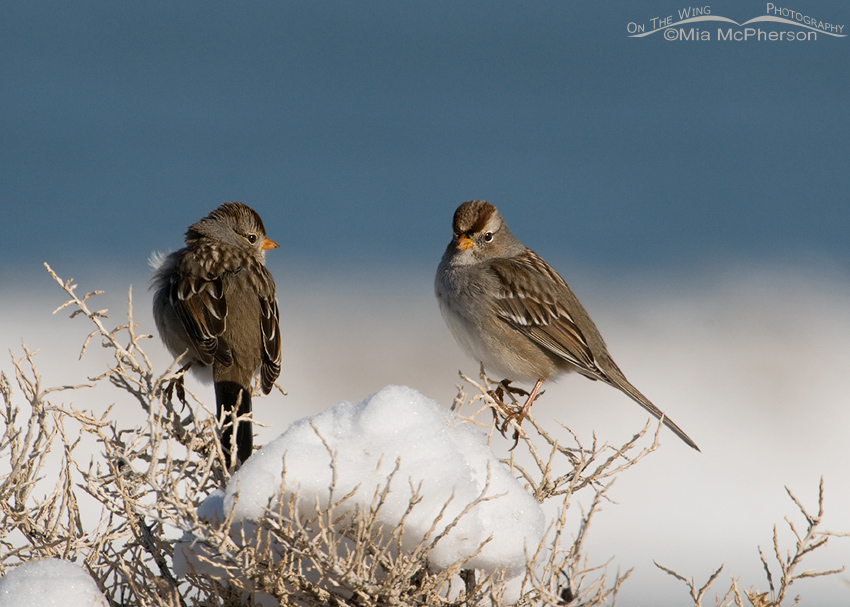 Juvenile White-crowned Sparrows