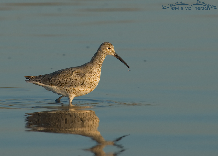 Willet image without auto levels applied in Photoshop