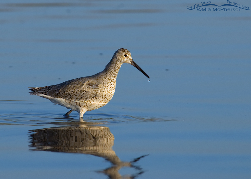 Willet image using auto levels half strength in Photoshop