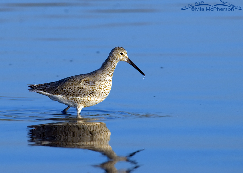 Willet image using auto levels full strength in Photoshop