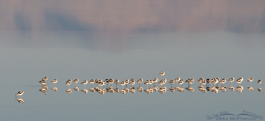American Avocets and the Great Salt Lake