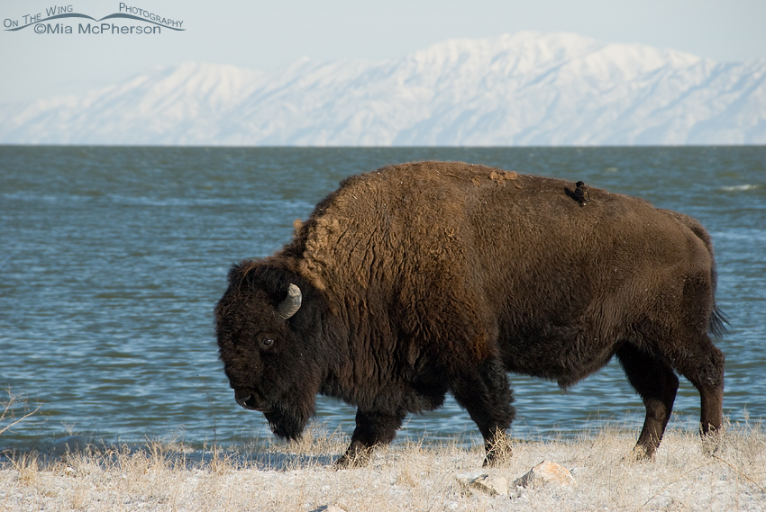 Starling hitchhiking a ride on a Bison