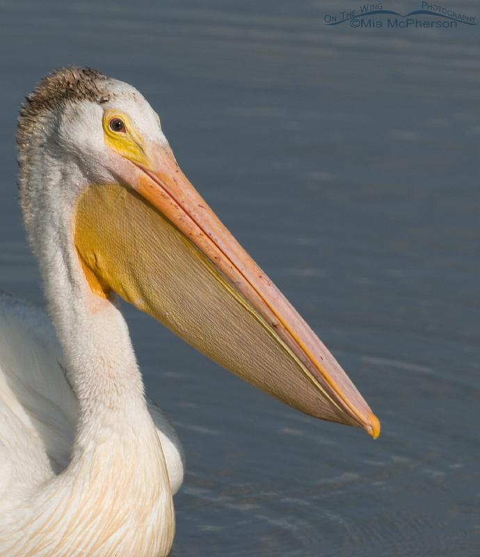 American White Pelican Close up