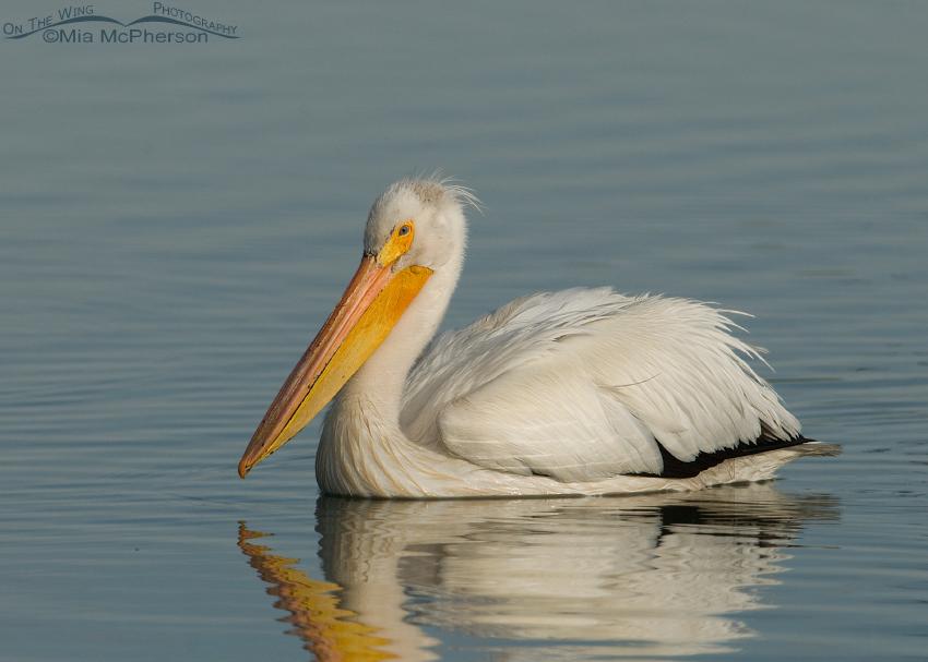 Adult American White Pelican