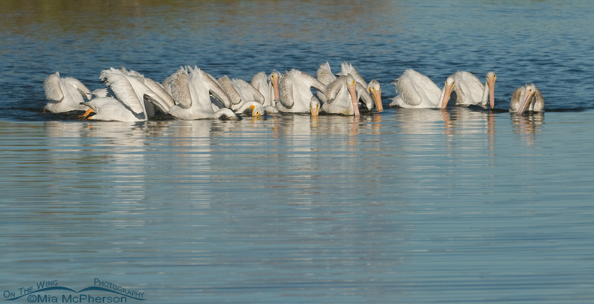 American White Pelicans cooperatively foraging