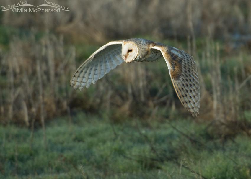 Barn Owl in flight over a marsh