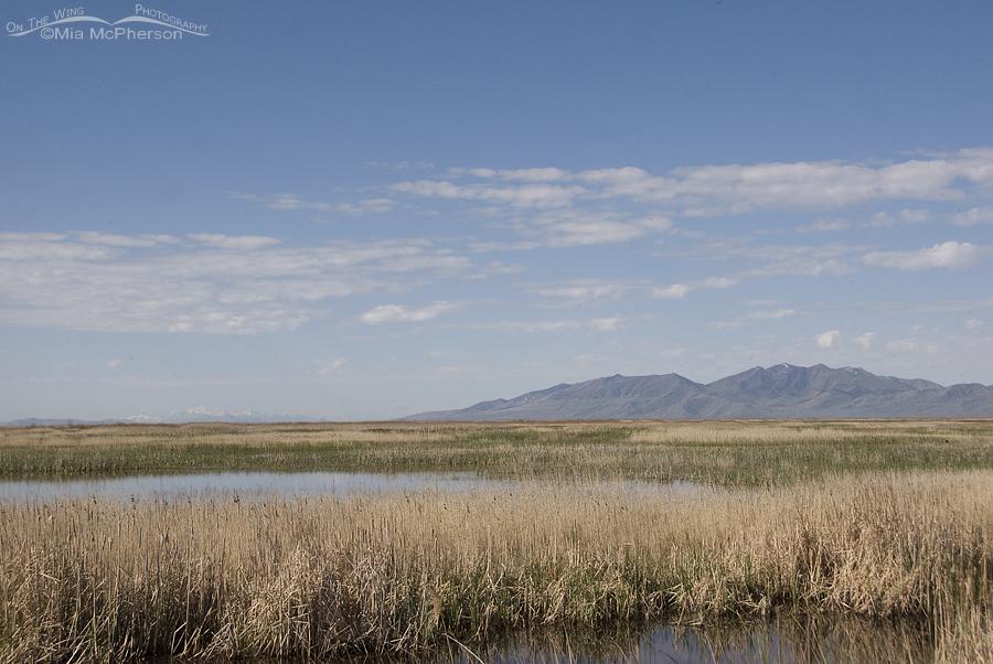 Bear River National Wildlife Refuge starting to green up