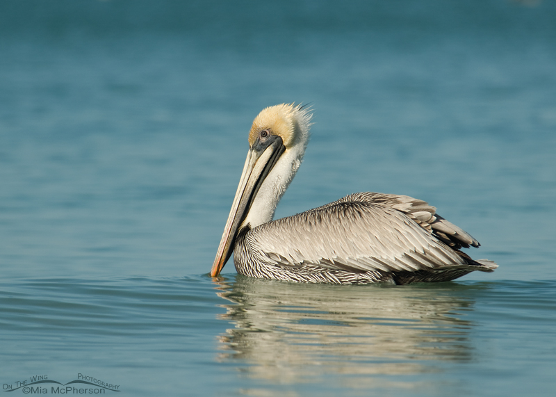 Adult Brown Pelican floating on the Gulf of Mexico