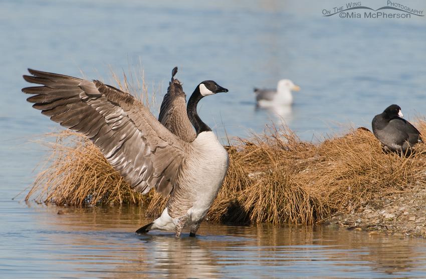 Canada Goose gander