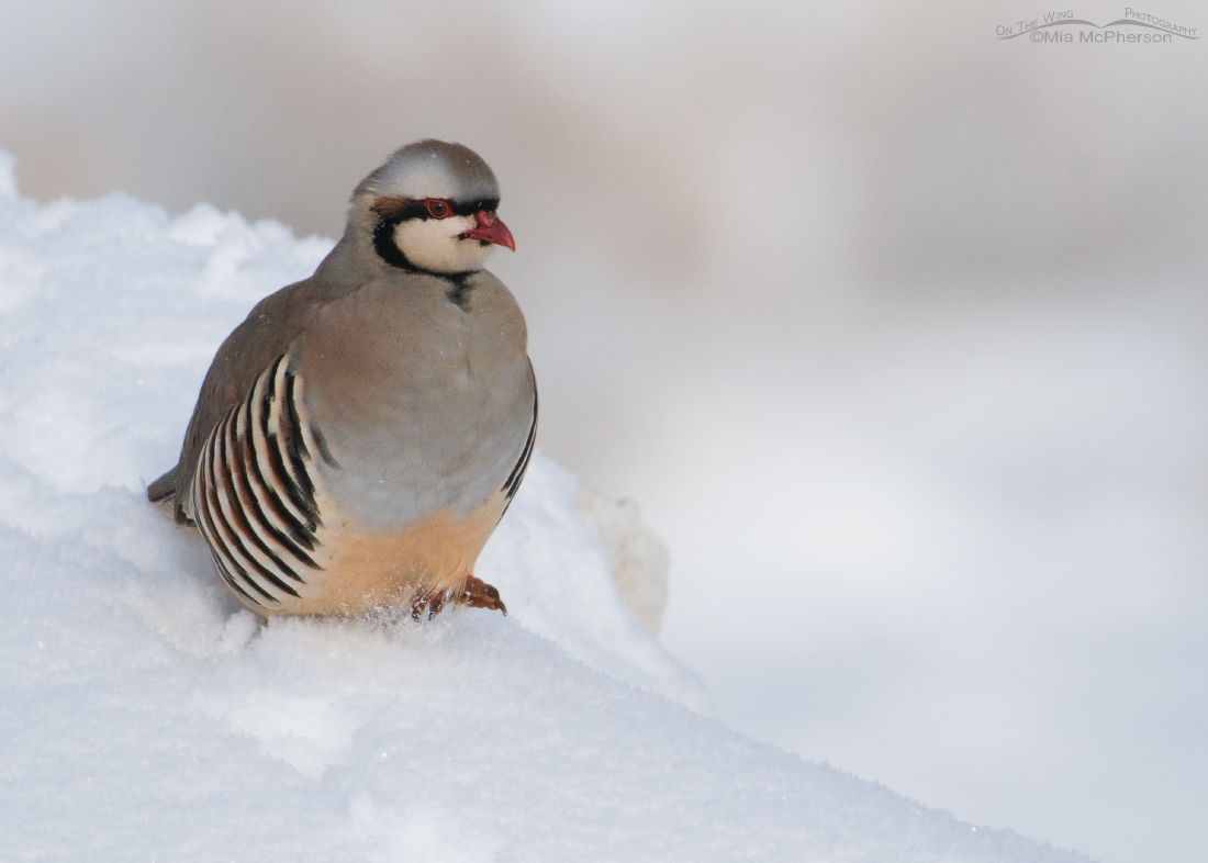 Chukar running in the snow