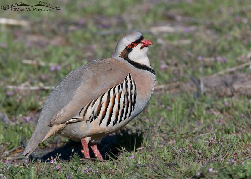 Spring Chukar on Antelope Island