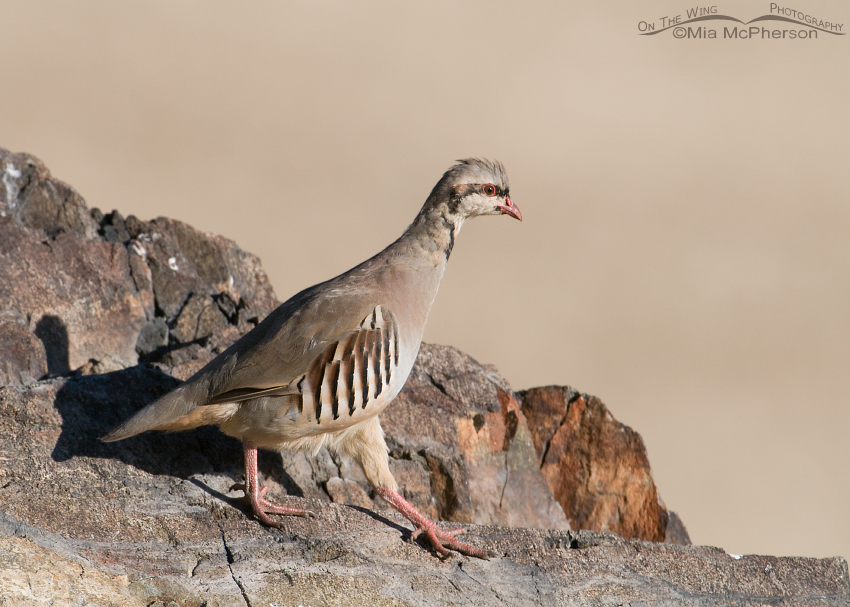 Young Chukar in a hurry