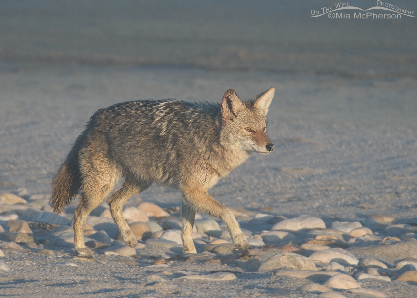 Coyote in a Great Salt Lake lake fog