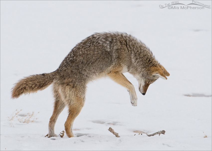 Coyote in a pounce position
