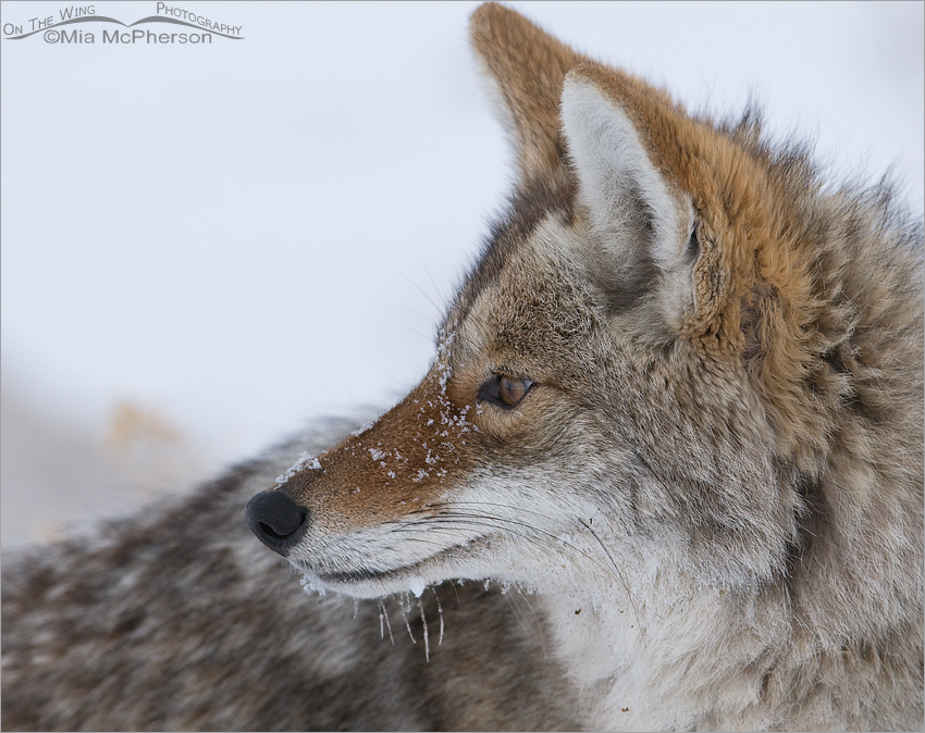Winter Coyote portrait