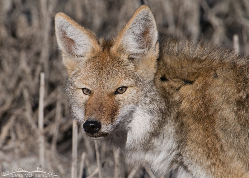 Coyote Portrait I