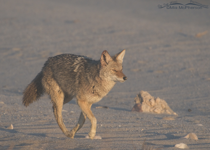 Coyote running in a fog along the Great Salt Lake