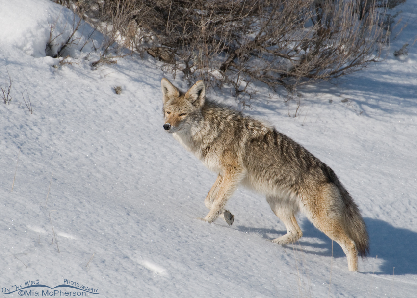 Coyote on a snow covered hillside