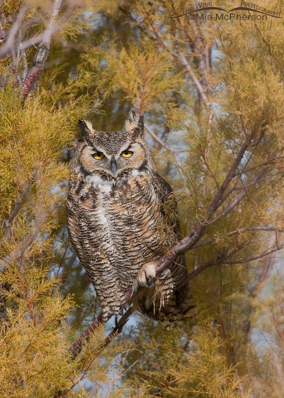 Great Horned Owl - November 11, 2011