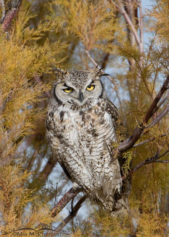 Great Horned Owl - November 22, 2011