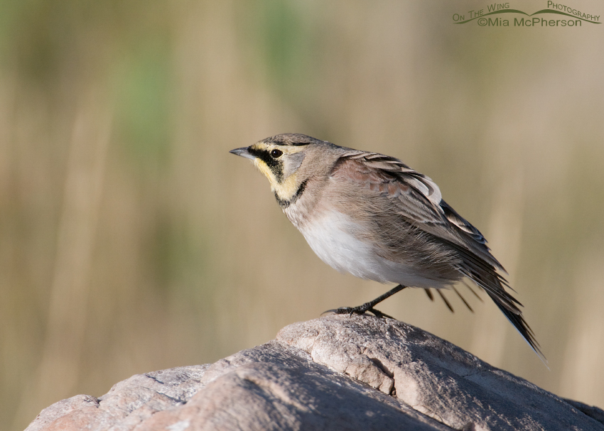 Horned Lark Warming up for the preening session