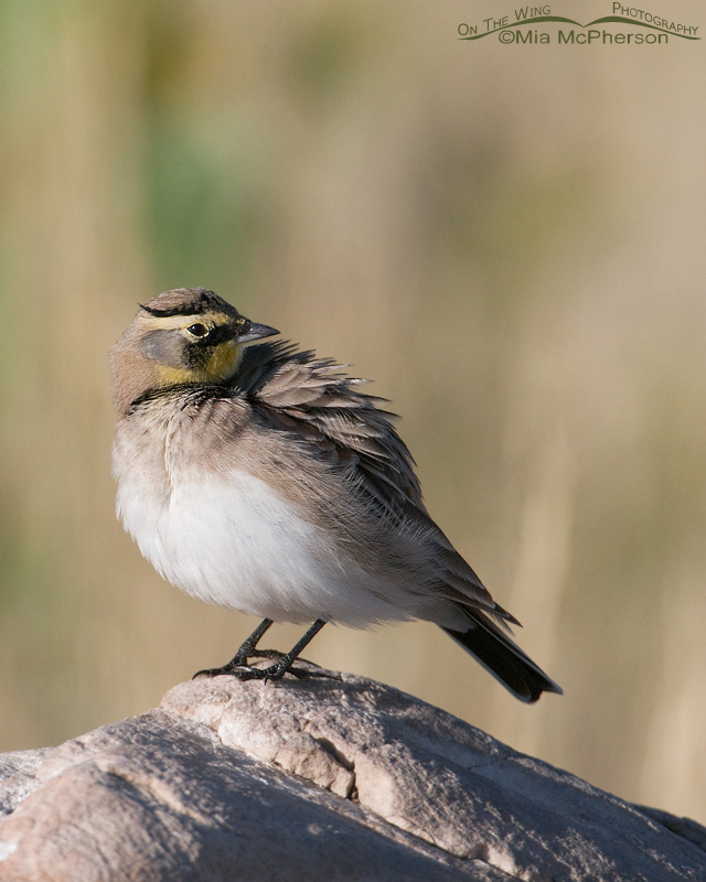Male Horned Lark grooming