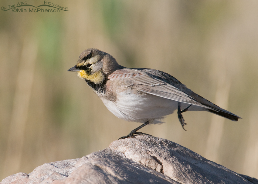 Horned Lark pilates