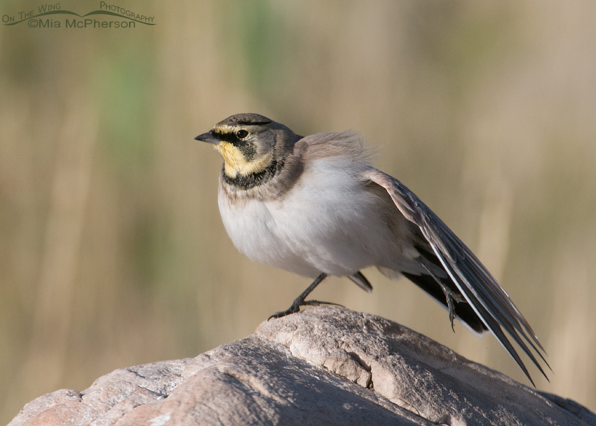 Horned Lark stretching left side