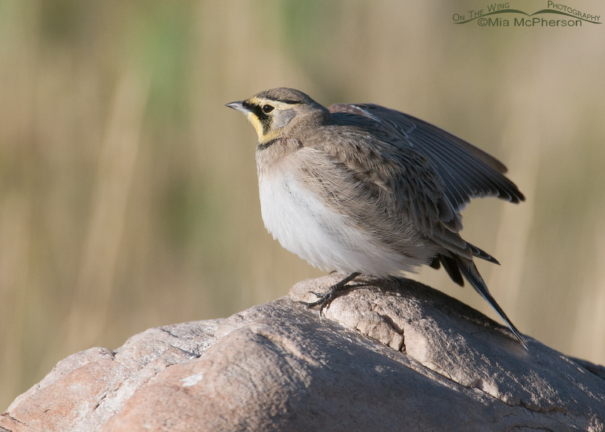 Horned Lark stretching the right wing