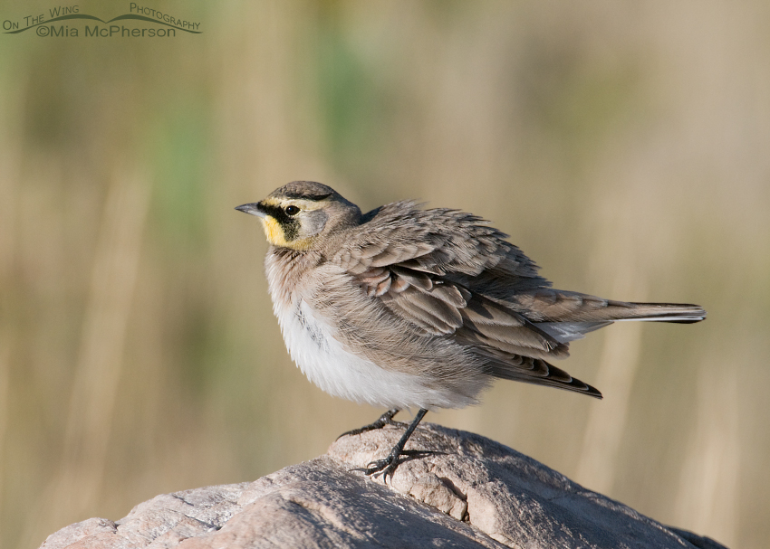 Horned Lark shaking it off